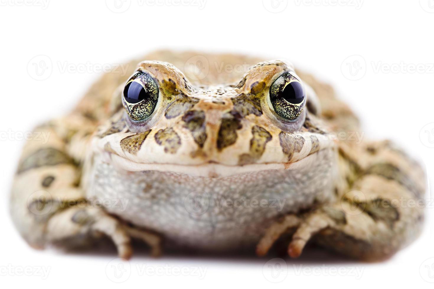 grenouille souriante photo