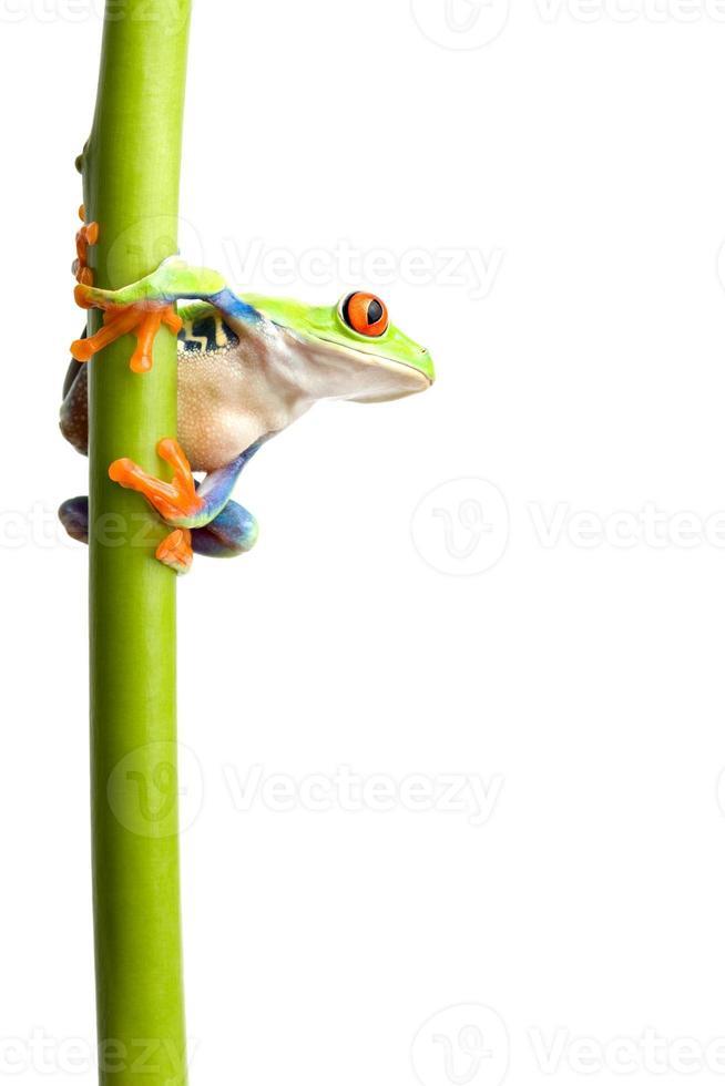 grenouille sur tige de plante isolée photo