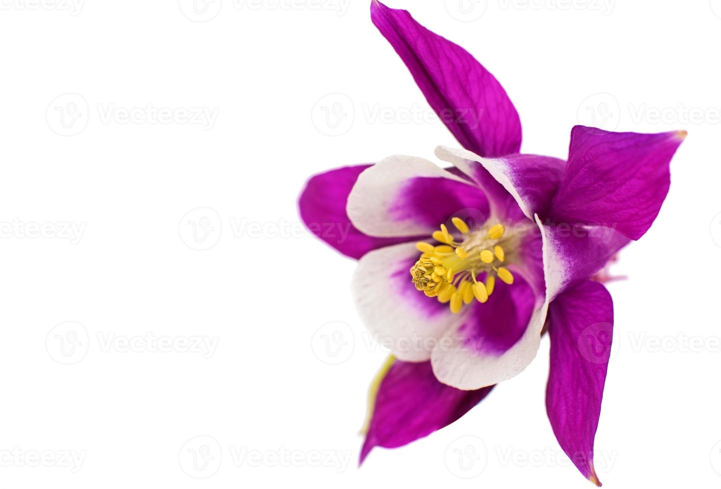 fleur d'aquilegia isolé photo