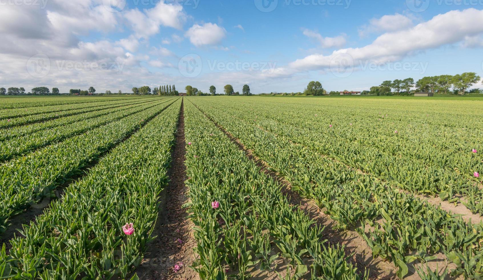 champ de tulipes après avoir coupé les capitules photo