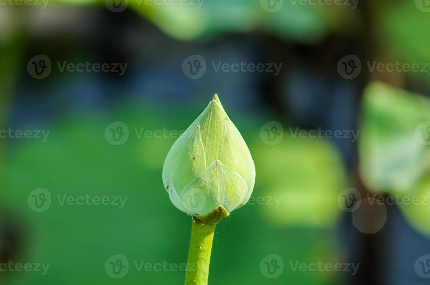 fleur de lotus vert en fond naturel photo