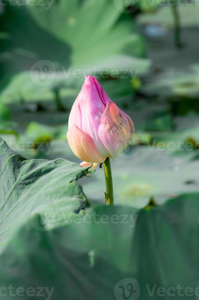 flétrissement de lotus rose sur fond de lac et bokeh photo