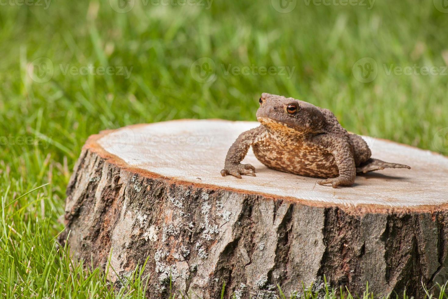 grenouille sur la souche d'arbre photo