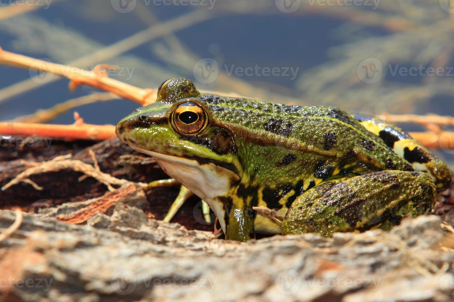 grenouille verte photo