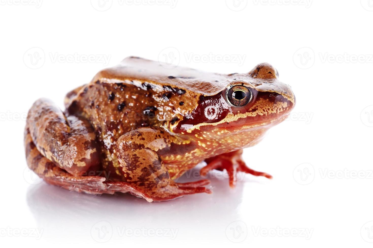 grenouille. photo