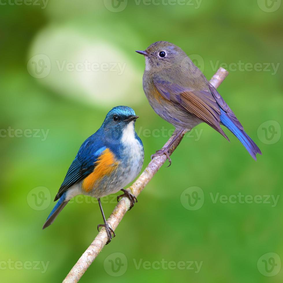 Oiseau bleu de l'Himalaya photo
