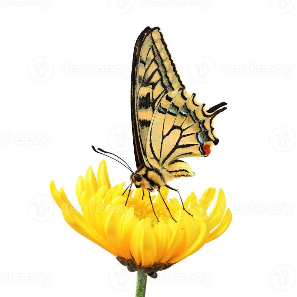 beau papillon jaune et noir sur une fleur jaune photo