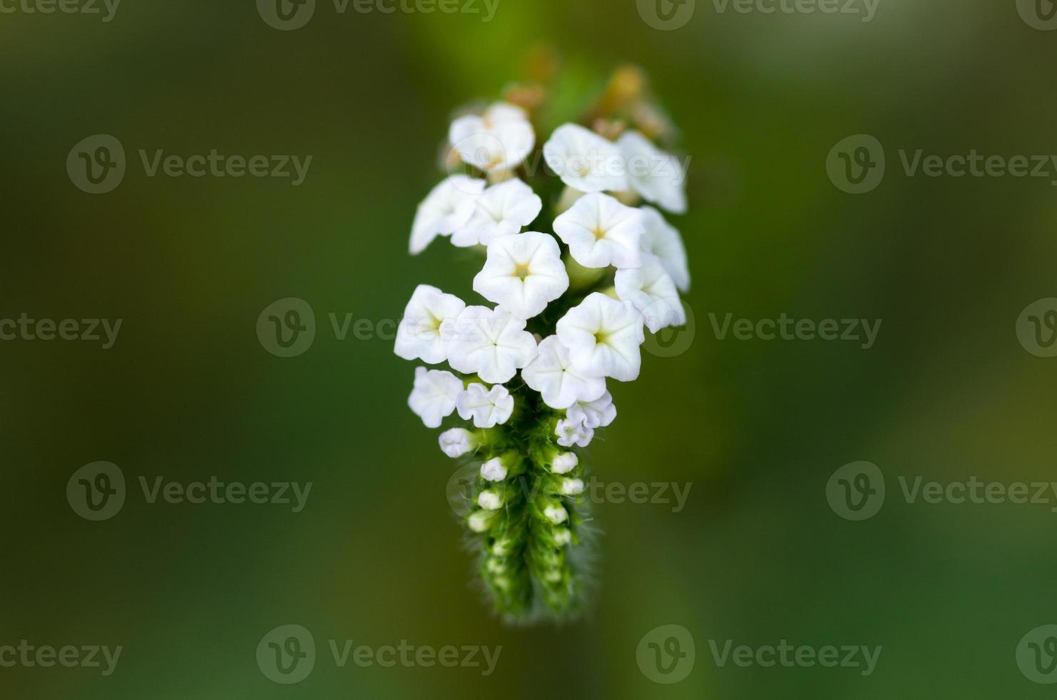 fleurs tropicales blanches photo