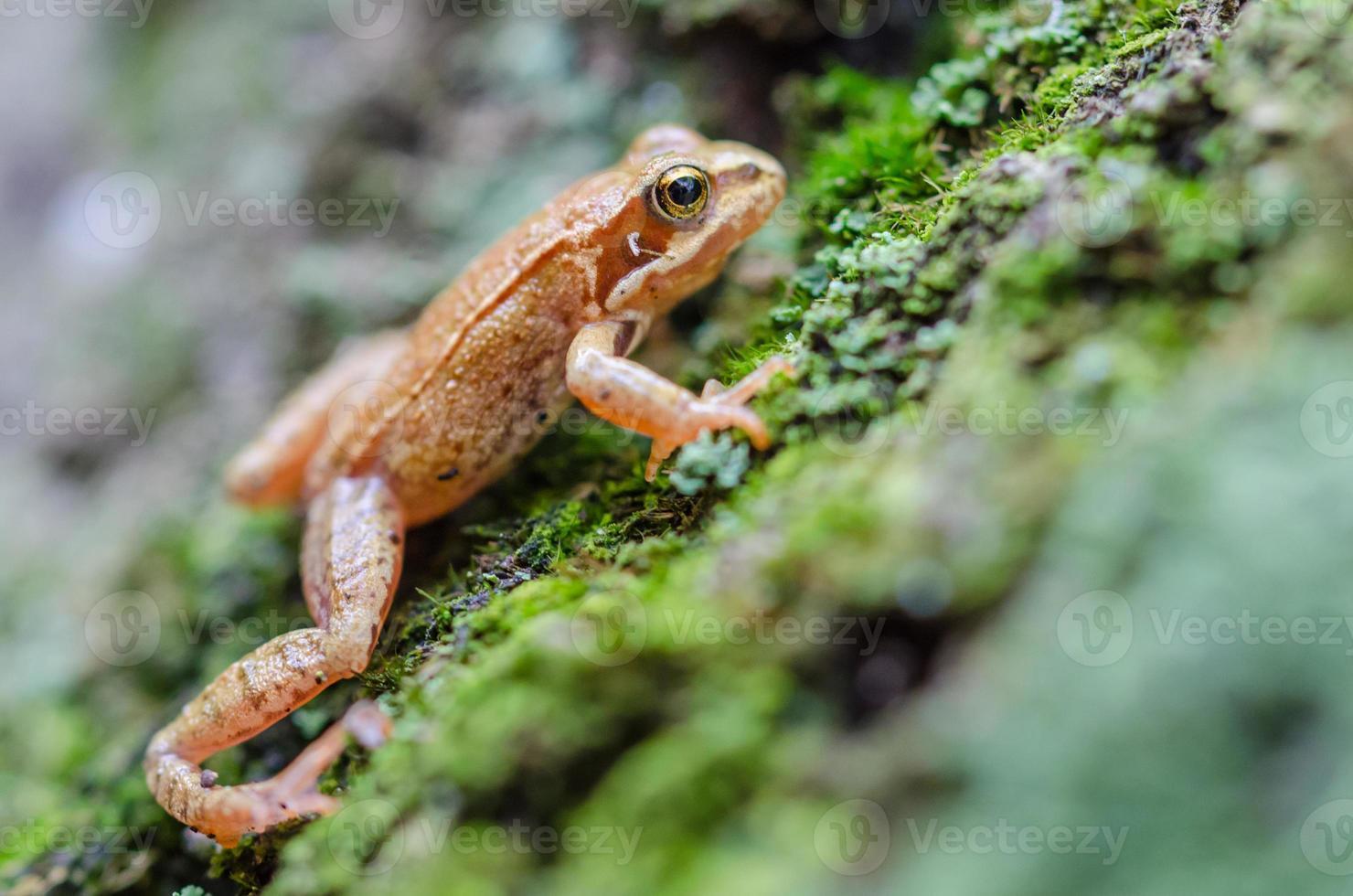 grenouille rousse photo