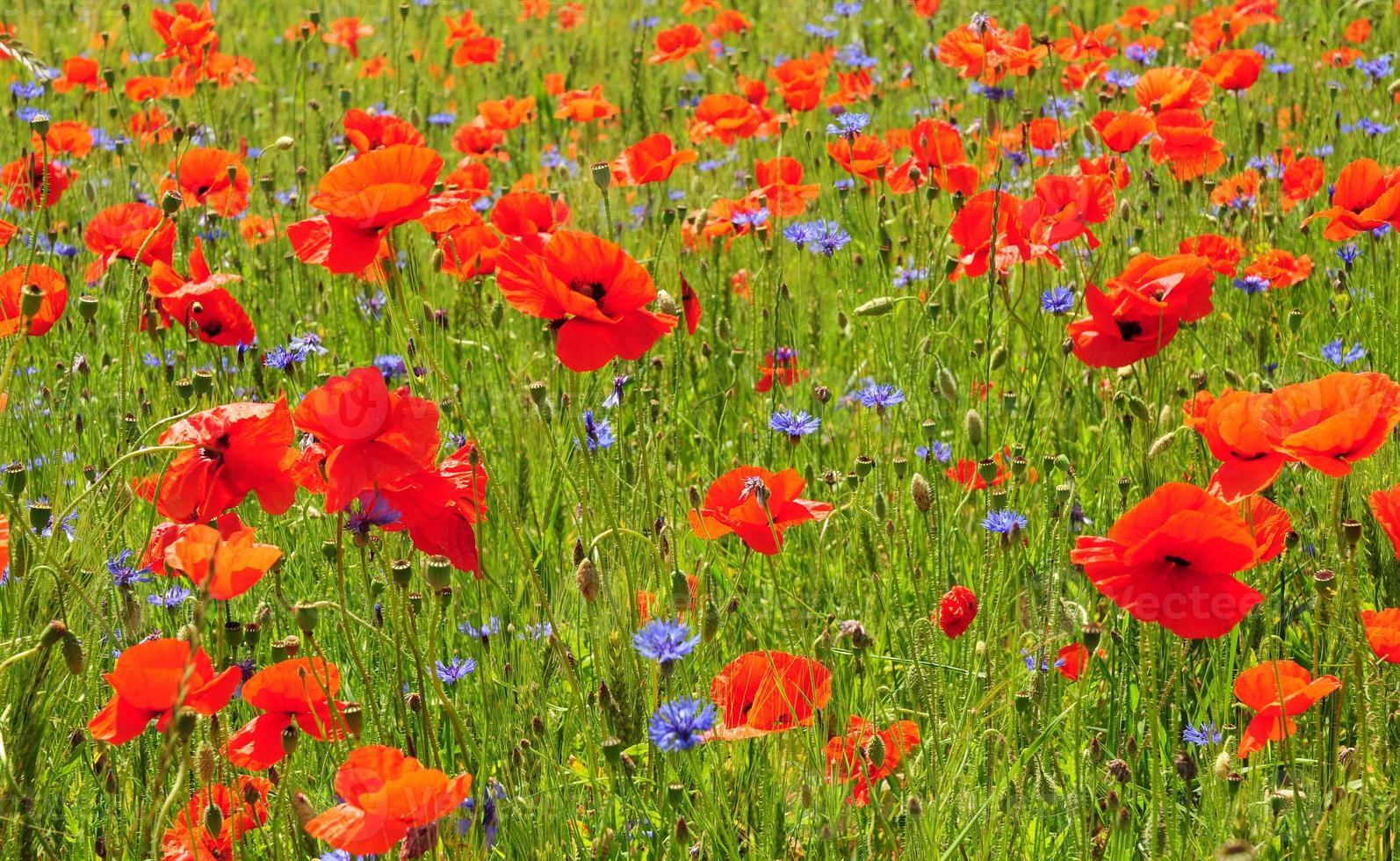 coquelicots rouges et fond de printemps bleuet bleuet photo