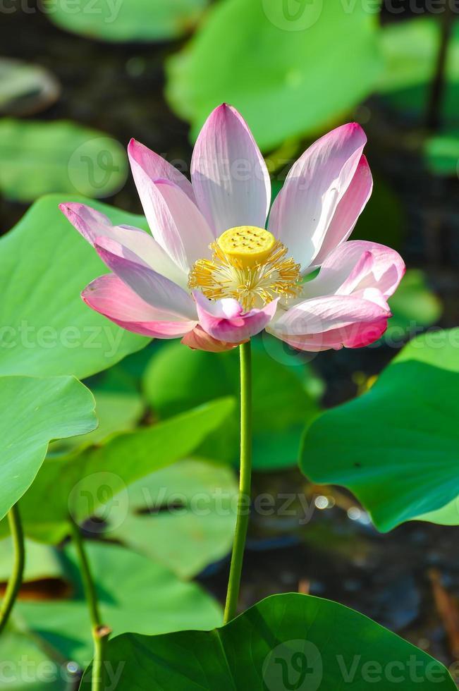 lotus sacré rose photo