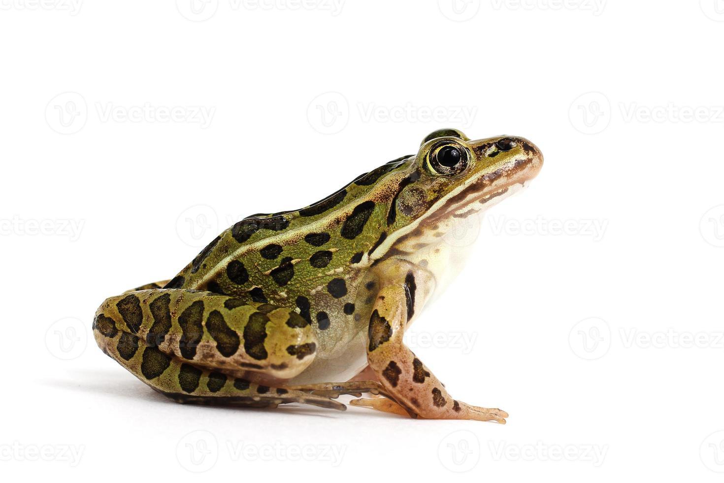 grenouille léopard (lithobates pipiens) photo