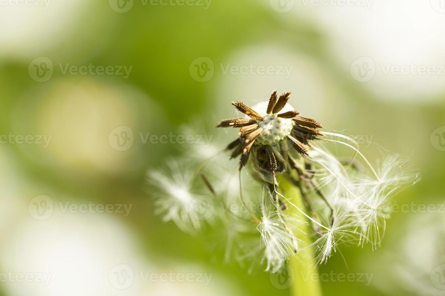 pissenlit en fleurs photo