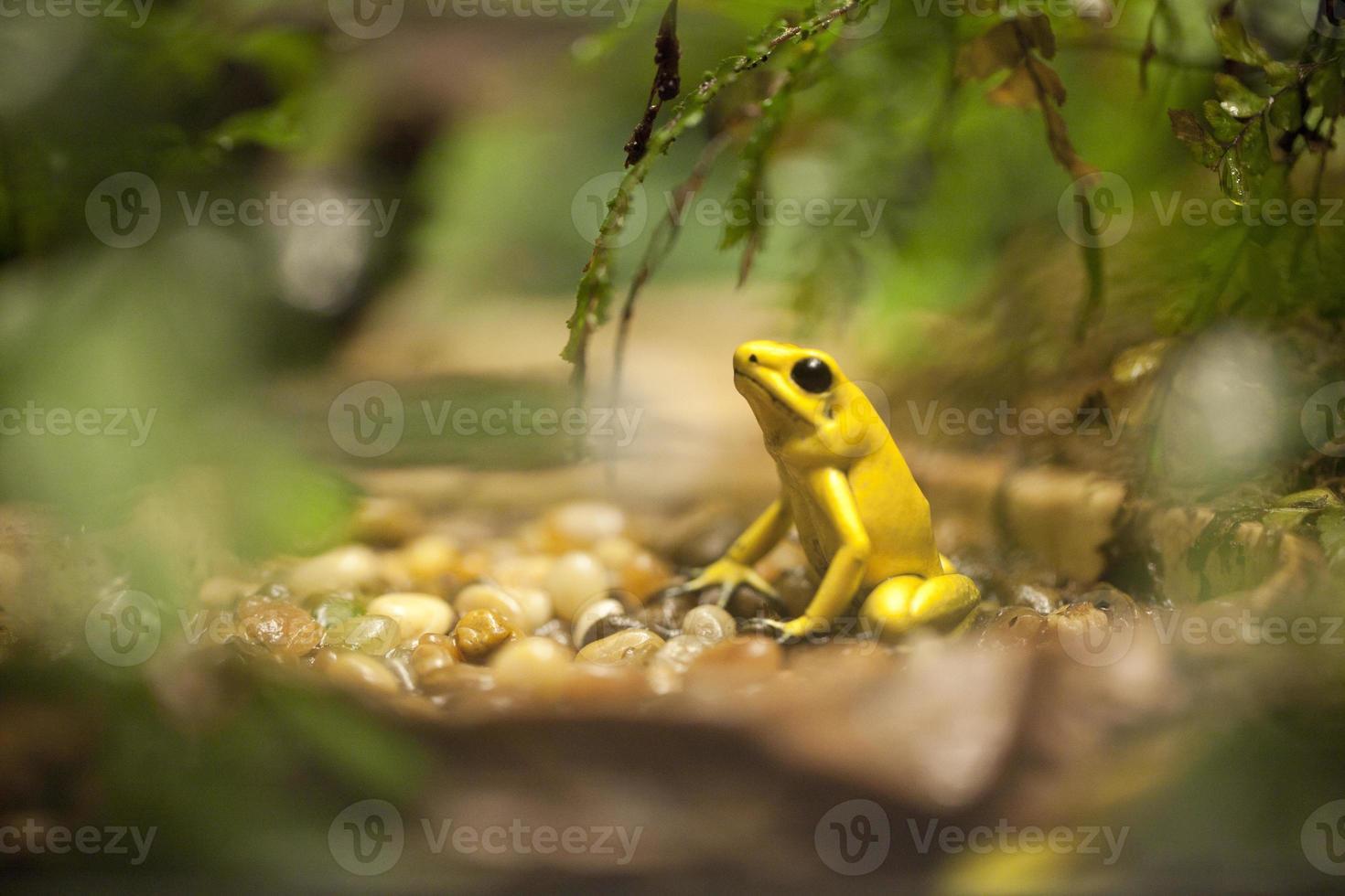 grenouille venimeuse dorée - phyllobates terribilis photo