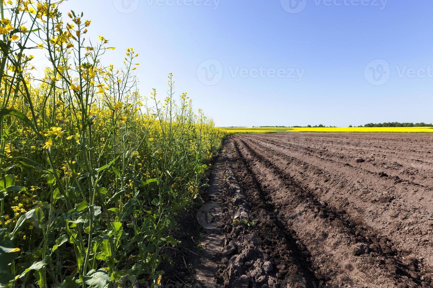 champ de pommes de terre. sillon photo