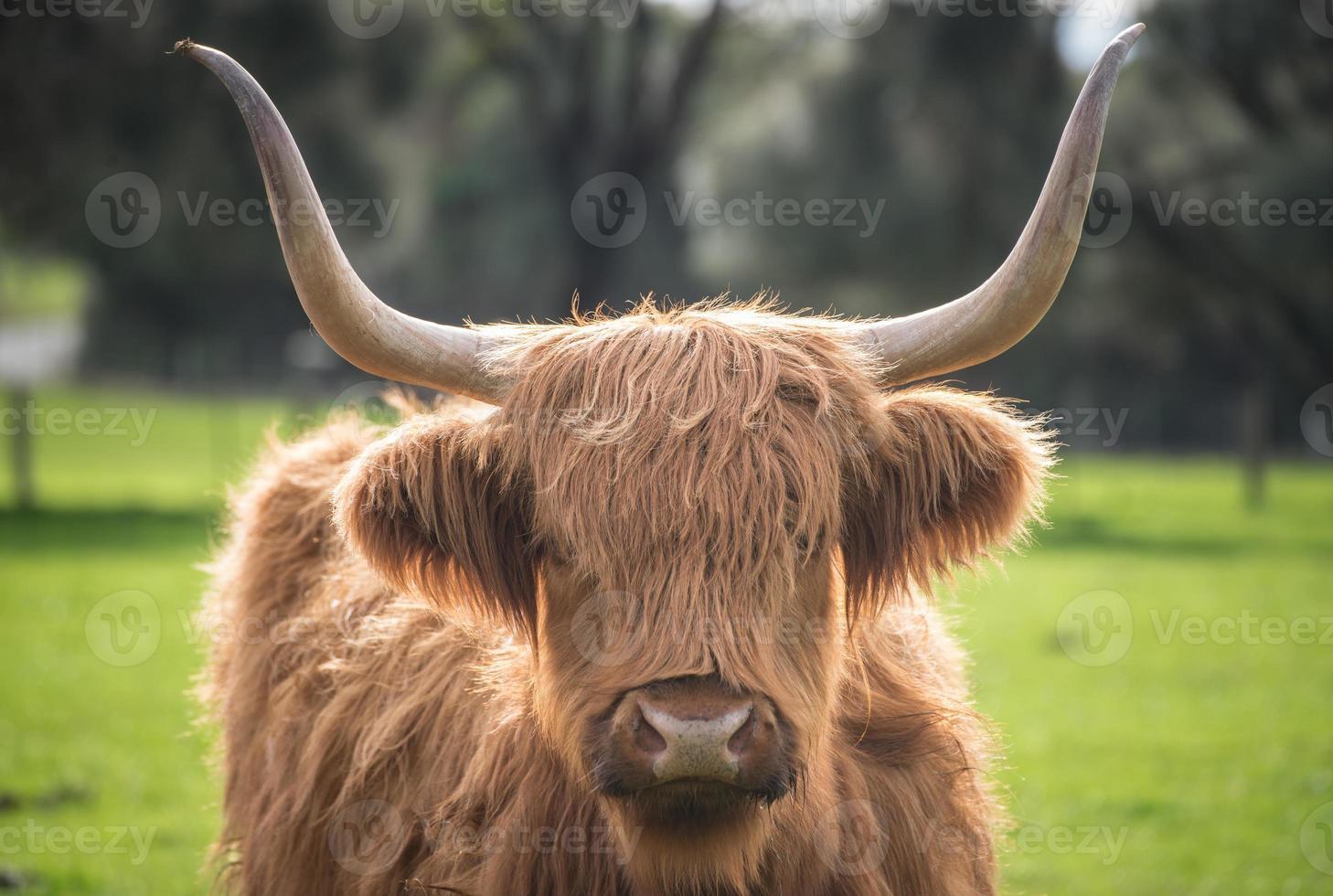 la vache des Highlands en Australie. photo