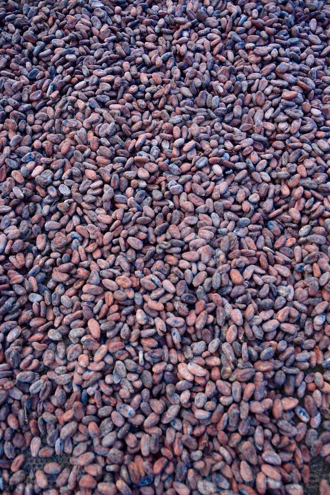 fèves de cacao biologiques naturelles fraîches photo