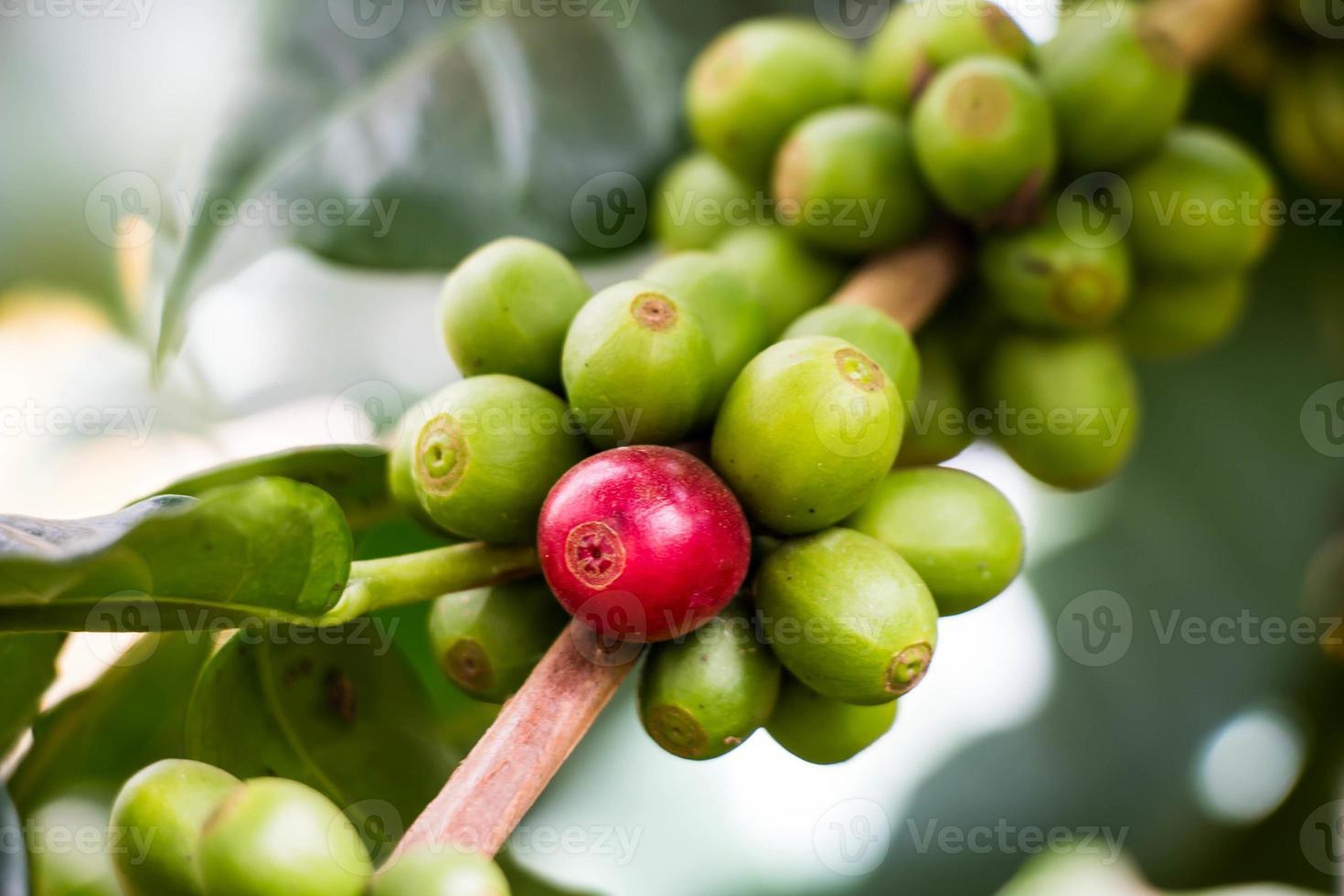 Grains de café mûrissant sur un arbre dans le nord de la Thaïlande photo