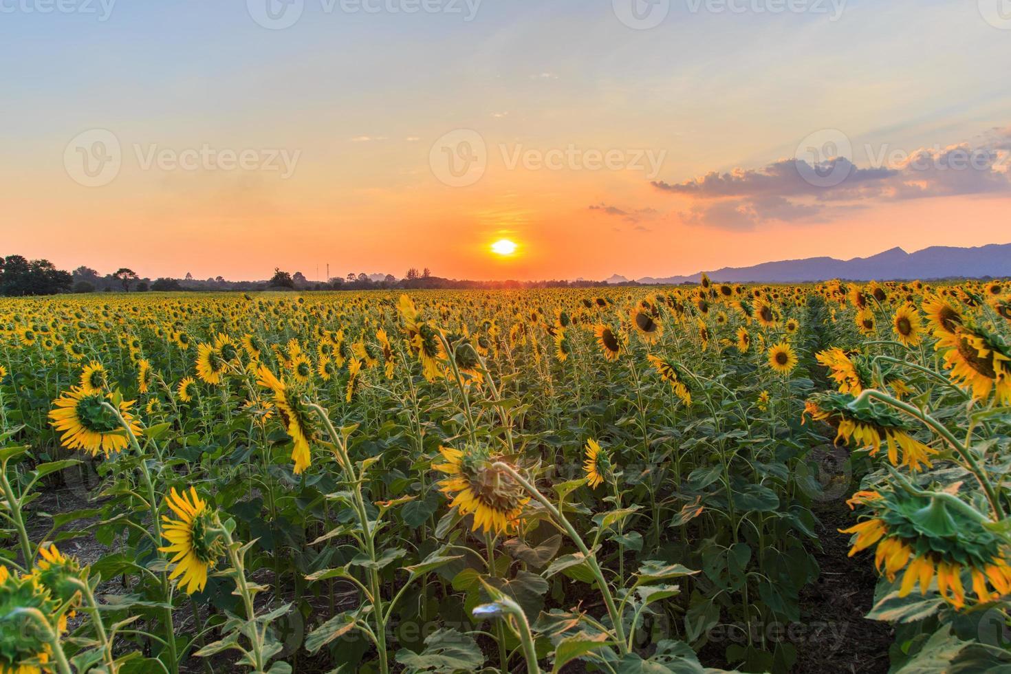 beaux tournesols dans le champ de printemps photo