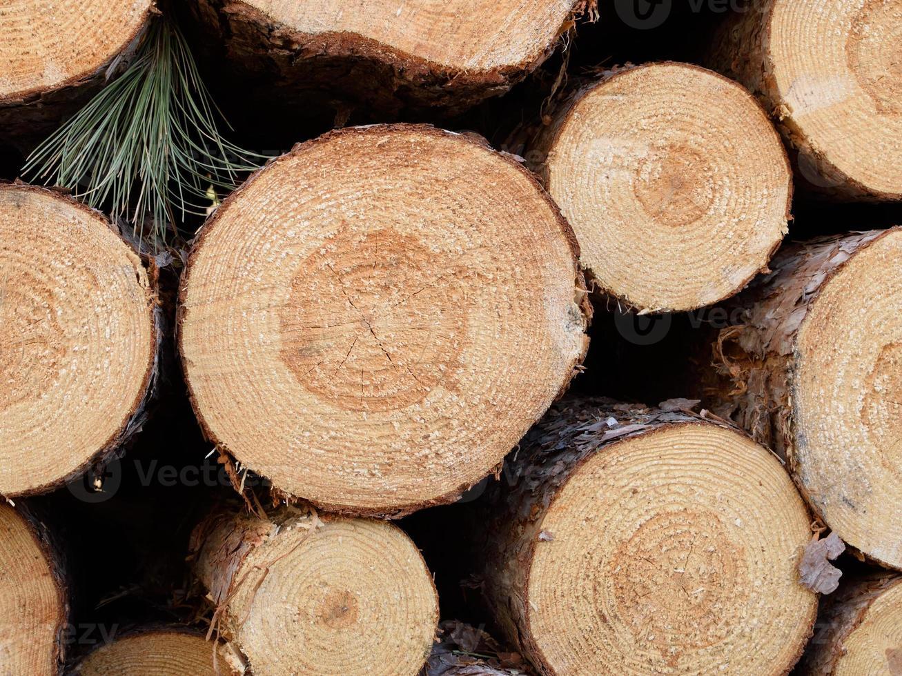 pin rouge fraîchement coupé (Pinus resinosa) photo