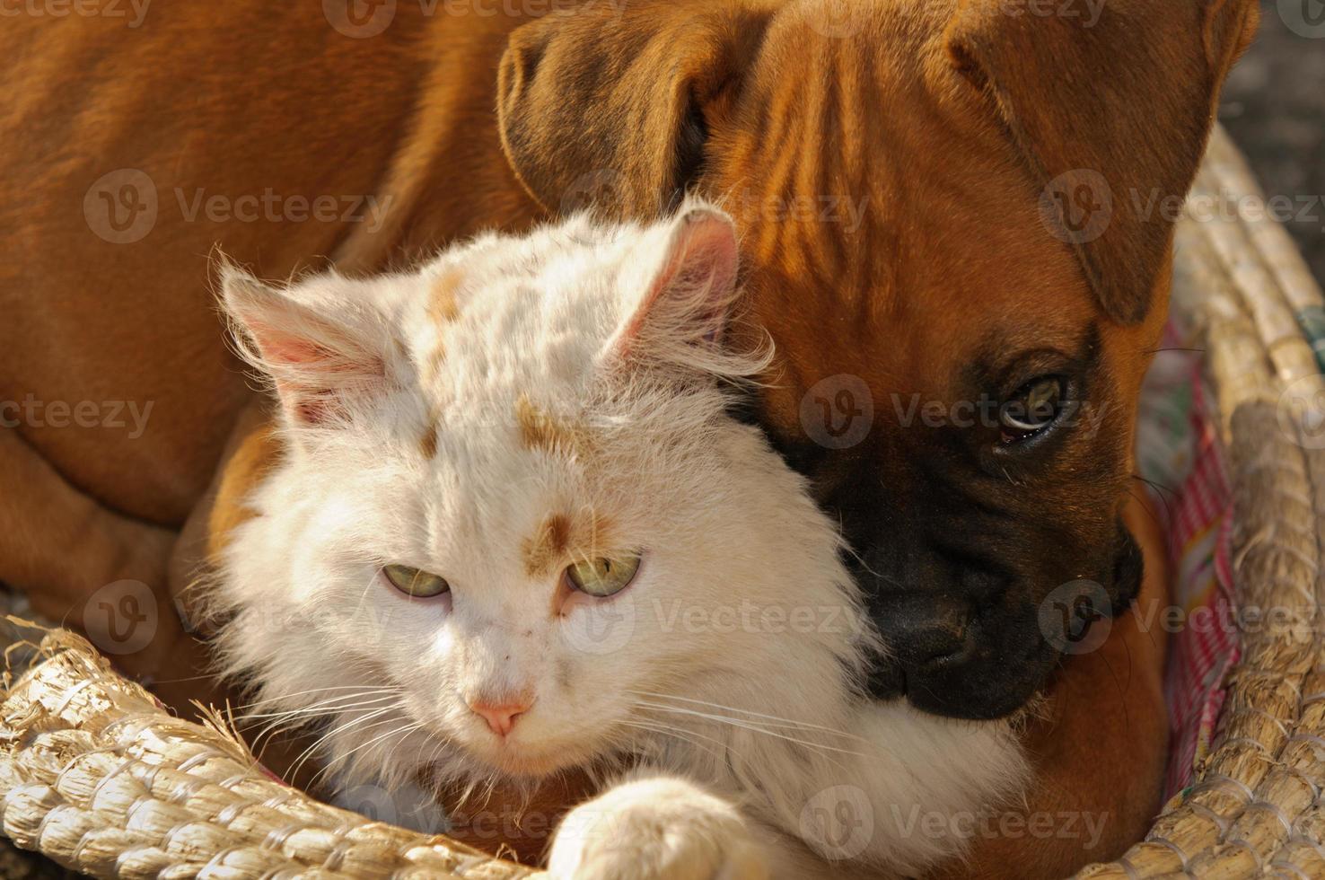 comme les chats et les chiens photo