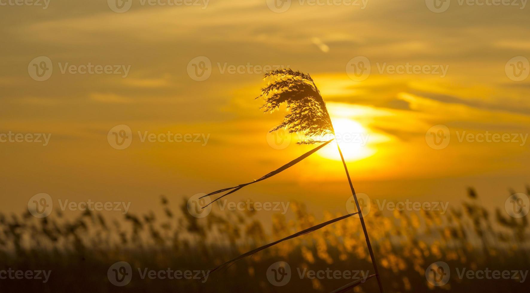 lever du soleil sur roseau dans un champ en hiver photo