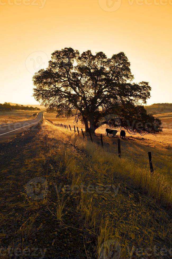 chêne solitaire et bétail photo