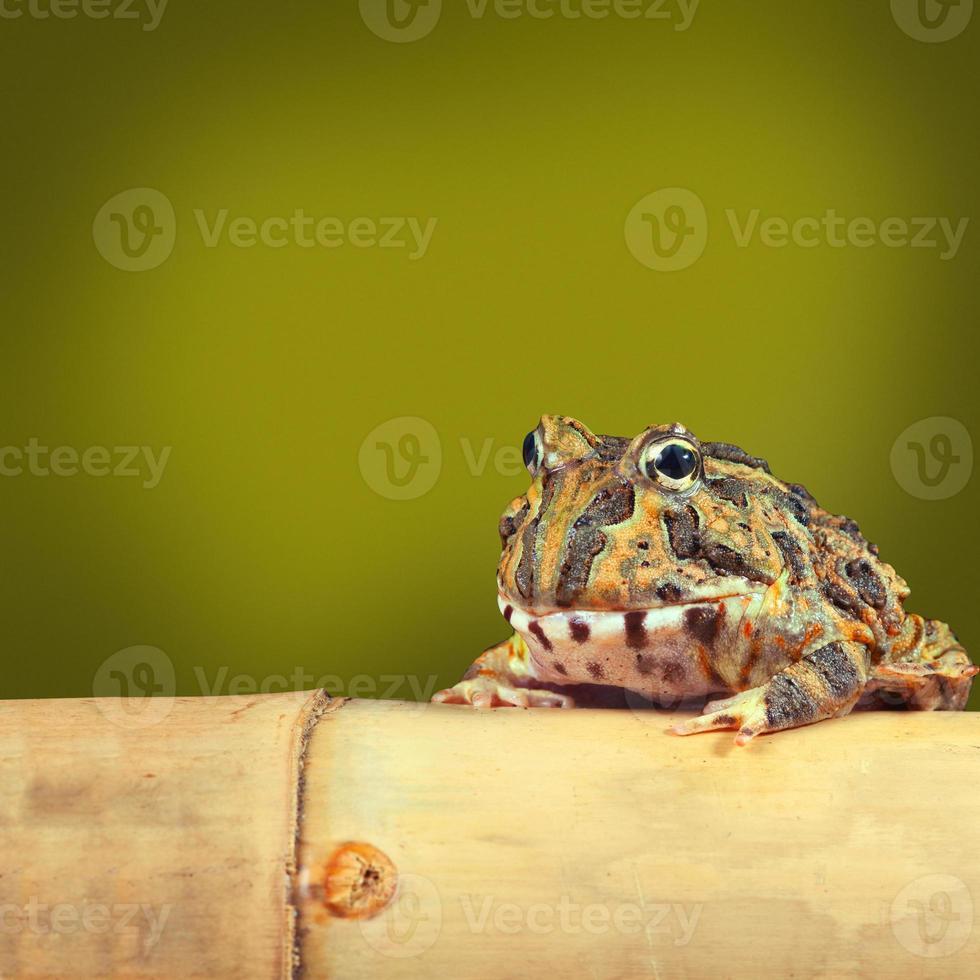 grenouille pacman photo