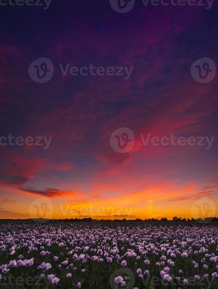 des milliers de coquelicots blancs sous un ciel rouge photo