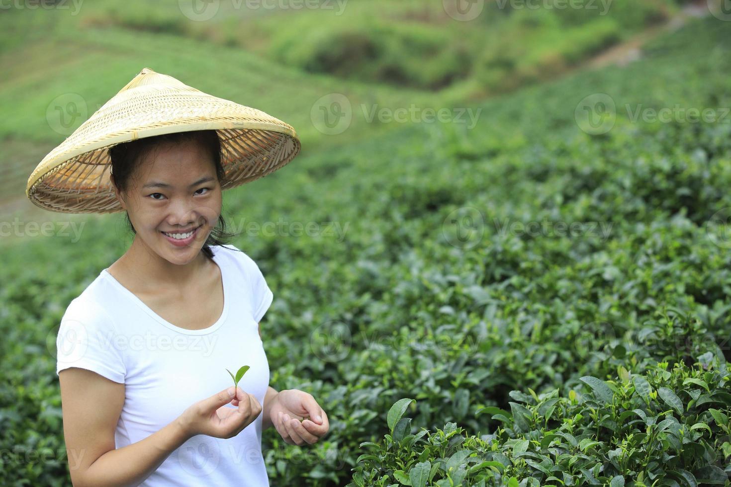 champ d'arbres à thé photo