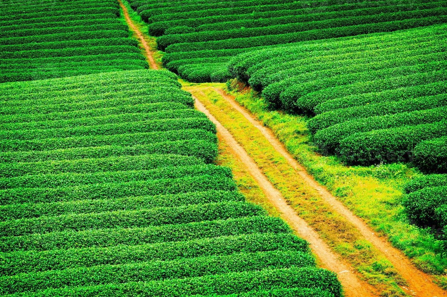 belle plantation de thé vert frais à moc chau, vietnam. photo