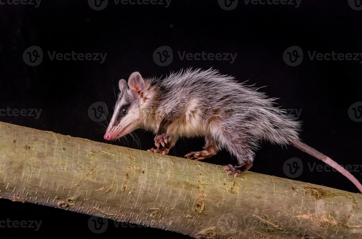 opossum à oreilles blanches andines sur une branche zarigueya photo