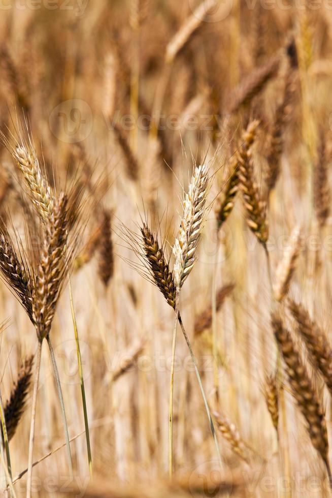 blé mûr photo