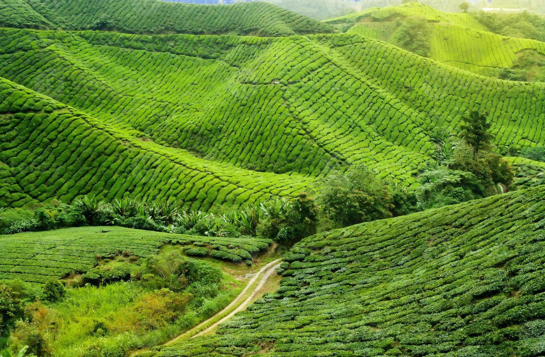 plantation de thé photo