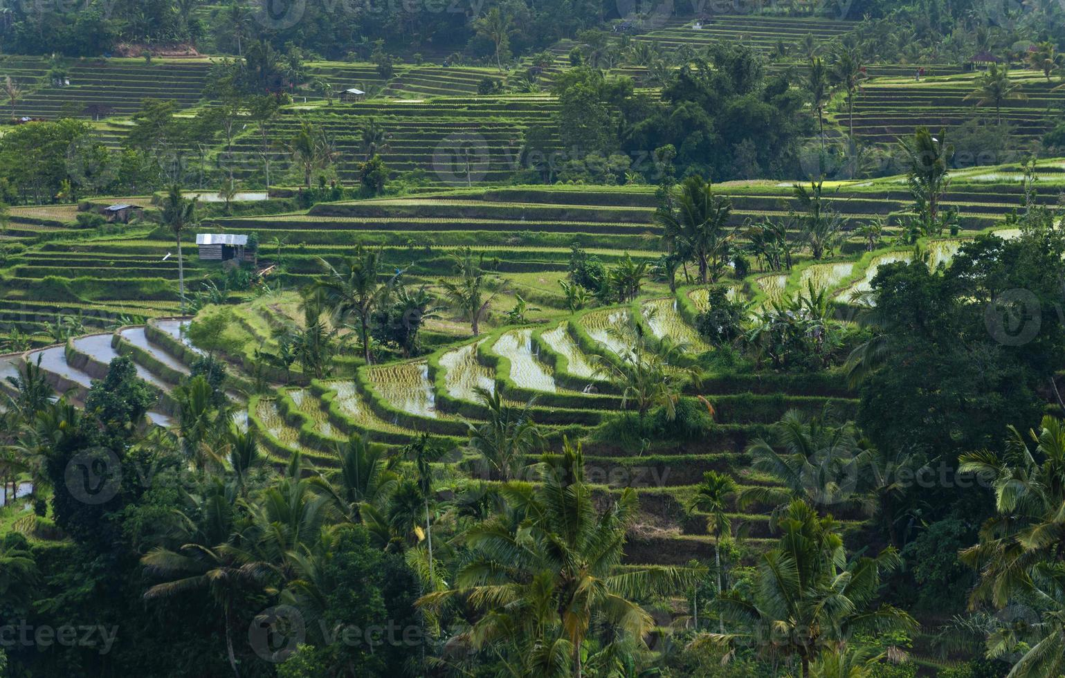 rizières en terrasses de Bali photo
