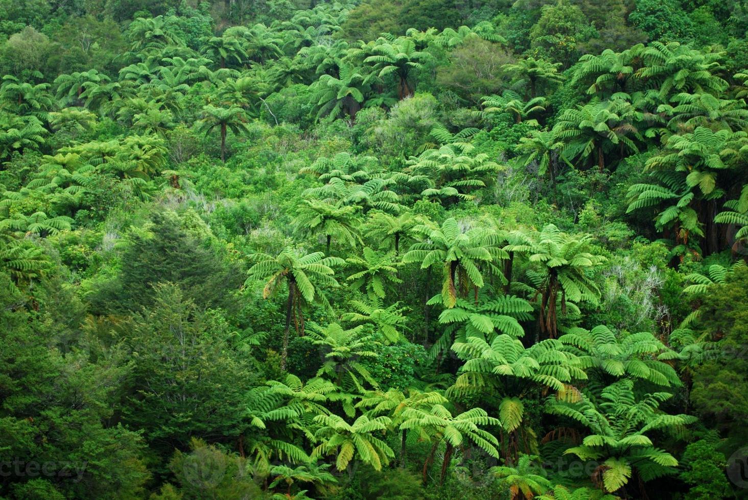pungas et fond de brousse indigène, nz photo