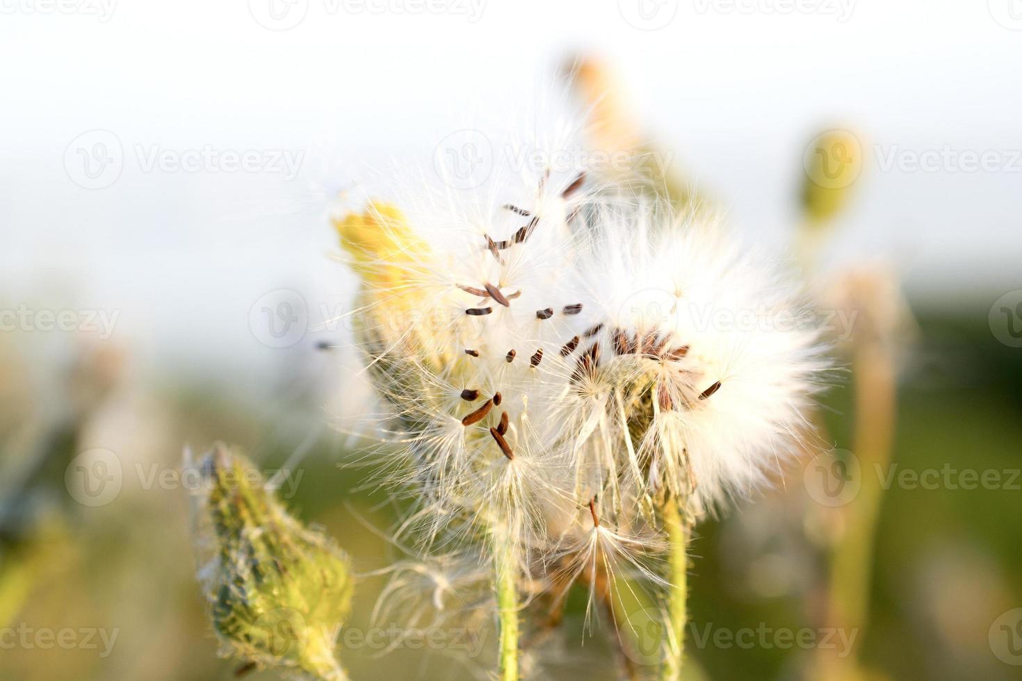 hypochaeris en fleur. photo