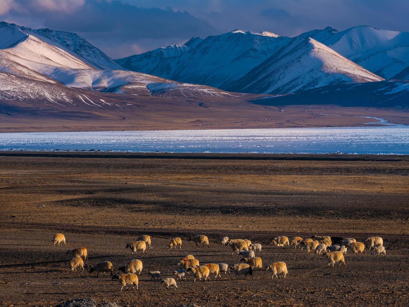 moutons, dans, champ, à, montagnes, dans, fond photo