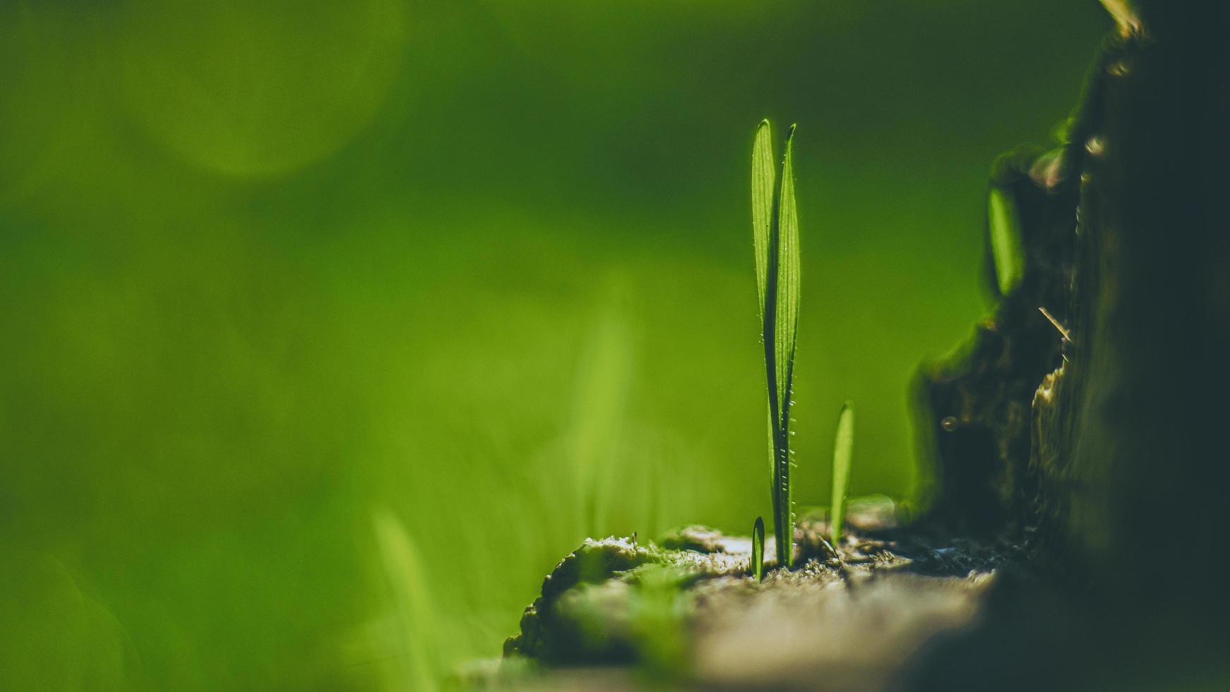 jeunes pousses d'herbe dans la nature photo