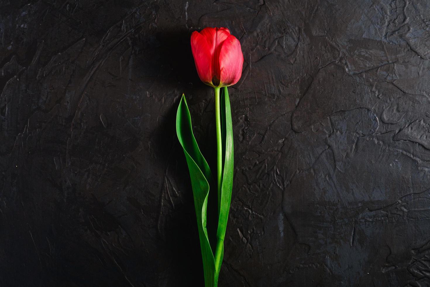 fleur de tulipe rouge unique sur fond noir texturé photo