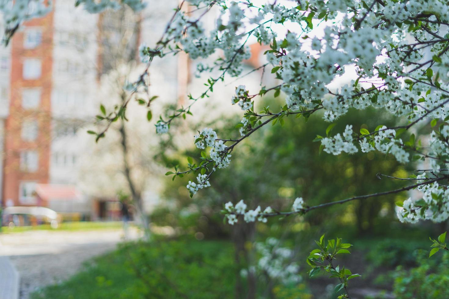 arbre de fleur de cerisier blanc photo