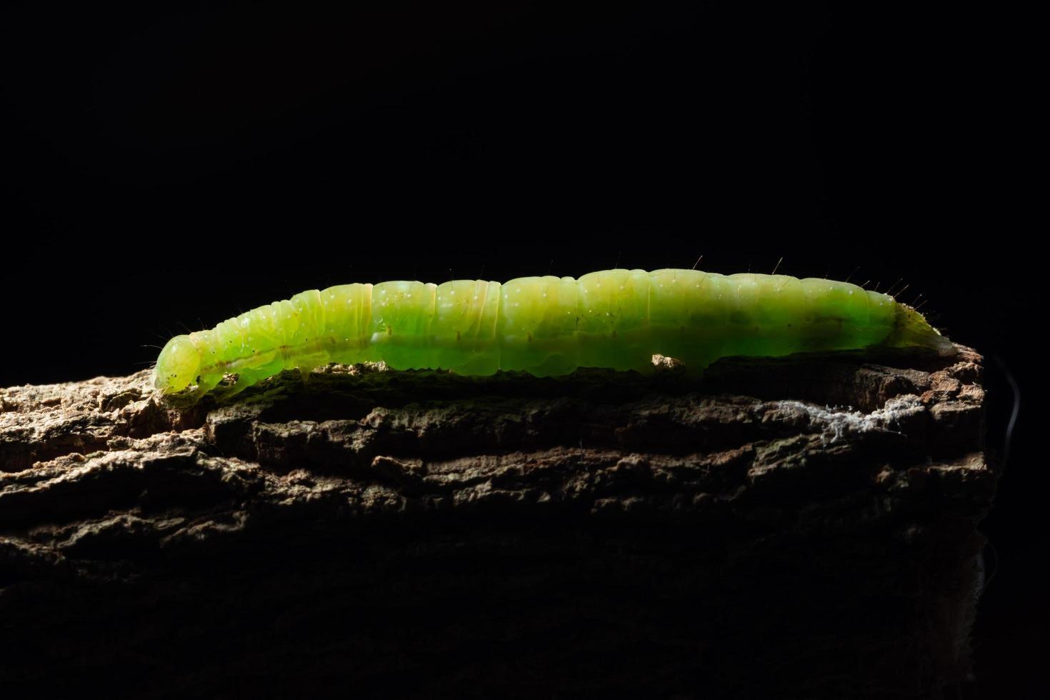 Ver vert macro sur une branche photo