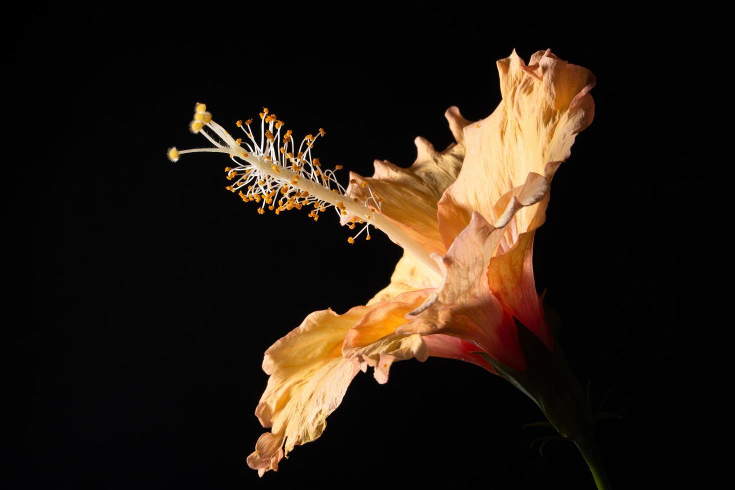fleur d'hibiscus macro photo