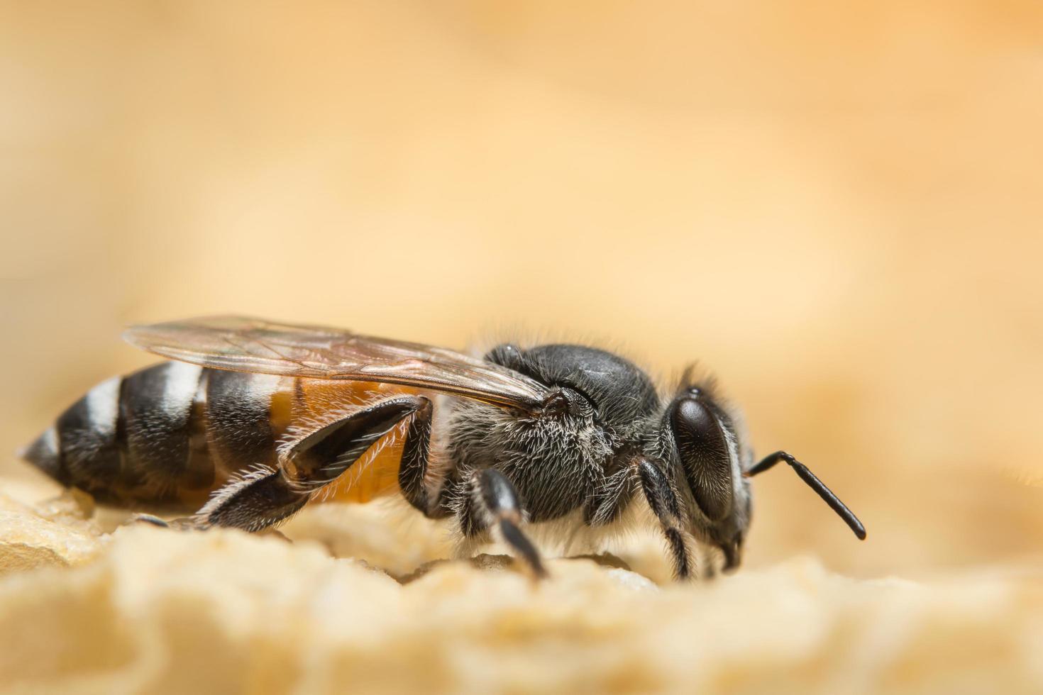 gros plan, abeille, ruche photo