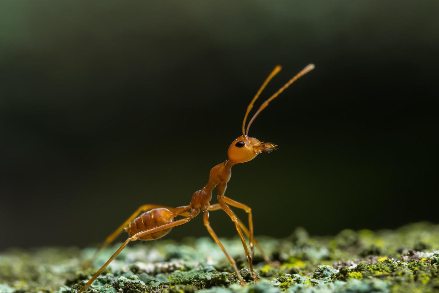 gros plan d'une fourmi rouge photo