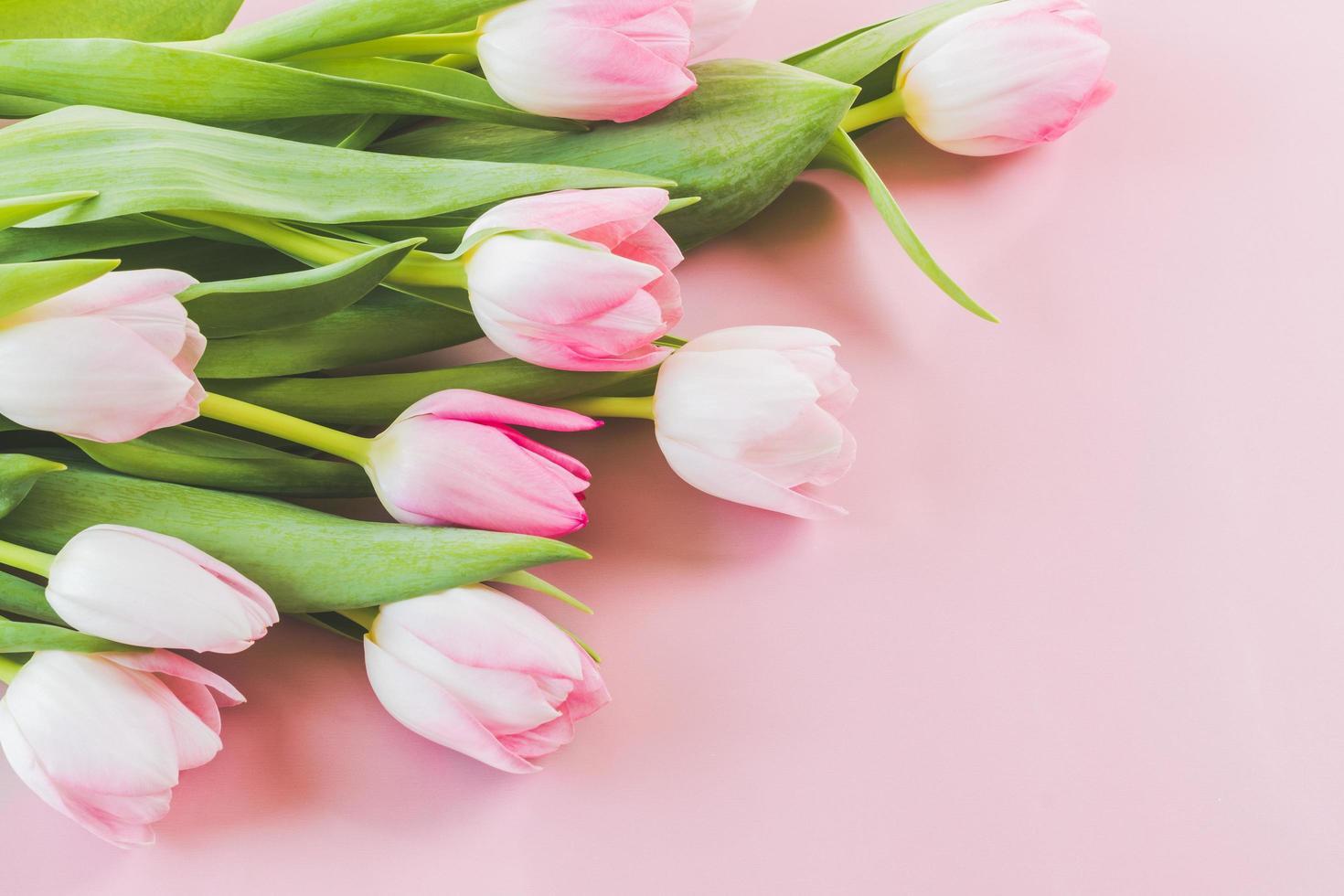 tulipes roses sur fond rose photo