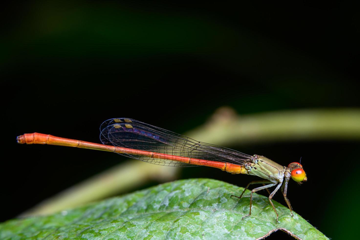 agriocnemis ou libellule sur feuilles photo