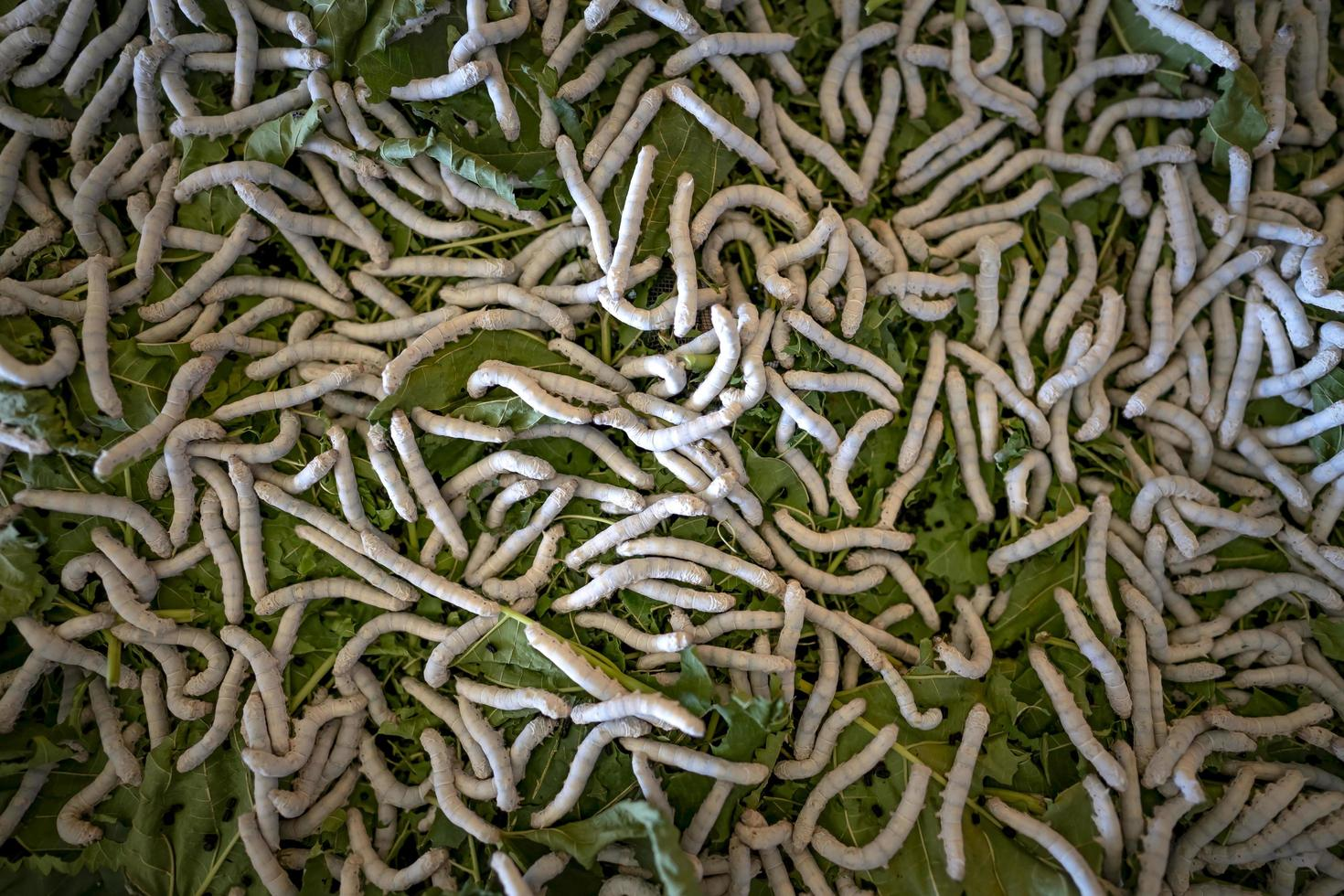 chenille ou larve blanche photo