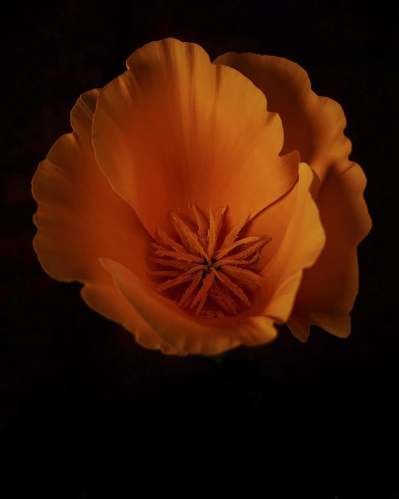 fleur d'oranger sur fond noir photo