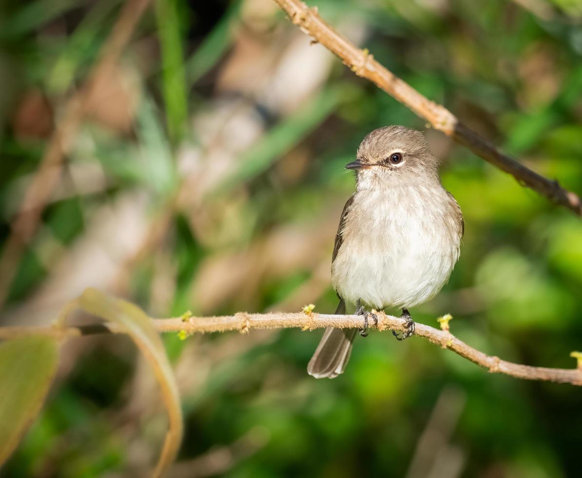 moucherolle sombre, oiseau perché sur une branche photo